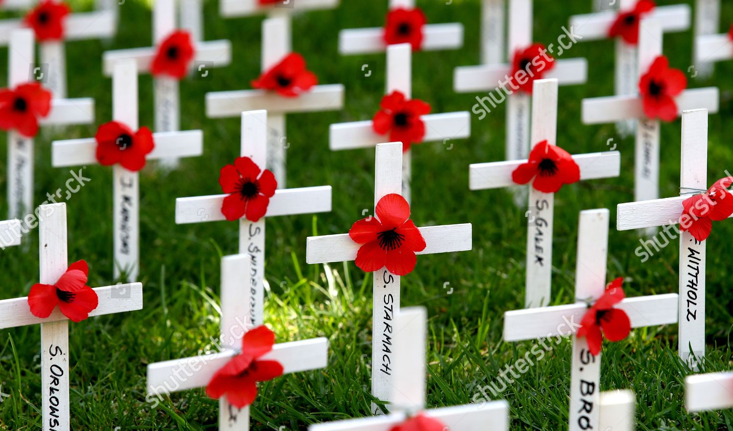 Poppies Crosses Names Fallen Displayed During Remembrance Editorial