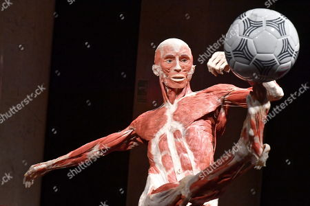 Stock Picture of The plastinated human body 'footballer' is on display in the exhibition 'Body Worlds and The Cycle of Life' in Warsaw, Poland, 01 December 2018. The show features human bodies preserved by the plastination technique, invented by German anatomist Gunther von Hagens.