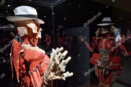 Stock Image of A plastinated human body is on display in the exhibition 'Body Worlds and The Cycle of Life' in Warsaw, Poland, 01 December 2018. The show features human bodies preserved by the plastination technique, invented by German anatomist Gunther von Hagens.
