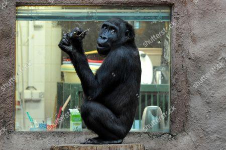 Western Lowland Gorilla at Prague Zoo