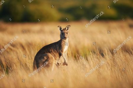 Eastern Gray Kangaroo (Macropus giganteus), mother animal with her youngster on a meadow, Wilson's Promontory National Park, Victoria
