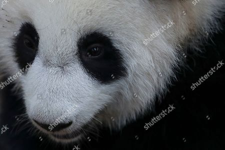 An unnamed ine year old second female baby panda reacts during her birthday celebration at the National Zoo at the Kuala Lumpur, Malaysia, 14 January 2019. Liang Liang, a female giant panda gave birth to her second baby on 14 January 2018. The baby panda was born 89 days after its parents Xing Xing and Liang Liang mated. Xing Xing and Liang Liang were loaned to Malaysia for 10 years to mark the 40th anniversary of diplomatic ties between Malaysia and China since they were initiated by Malaysia's second Prime Minister, the late Abdul Razak Hussein in 1974.