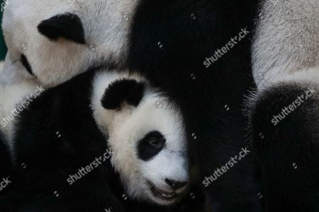 An unnamed second female baby panda who is one year old (below) reacts with her mother Liang Liang (above) during her birthday celebration at the National Zoo at the Kuala Lumpur, Malaysia, 14 January 2019. Liang Liang, a female giant panda gave birth to her second baby on 14 January 2018. The baby panda was born 89 days after its parents Xing Xing and Liang Liang mated. Xing Xing and Liang Liang were loaned to Malaysia for 10 years to mark the 40th anniversary of diplomatic ties between Malaysia and China since they were initiated by Malaysia's second Prime Minister, the late Abdul Razak Hussein in 1974.
