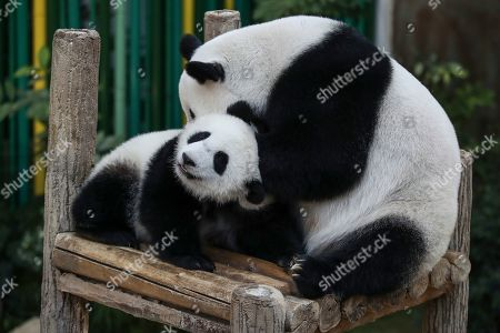 An unnamed one year old second female baby panda (L) reacts with her mother Liang Liang (R) during her birthday celebration at the National Zoo at the Kuala Lumpur, Malaysia, 14 January 2019. Liang Liang, a female giant panda gave birth to her second baby on 14 January 2018. The baby panda was born 89 days after its parents Xing Xing and Liang Liang mated. Xing Xing and Liang Liang were loaned to Malaysia for 10 years to mark the 40th anniversary of diplomatic ties between Malaysia and China since they were initiated by Malaysia's second Prime Minister, the late Abdul Razak Hussein in 1974.