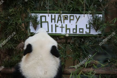 An unnamed second female baby panda reacts during her first birthday celebration at the National Zoo at the Kuala Lumpur, Malaysia, 14 January 2019. Liang Liang, a female giant panda gave birth to her second baby on 14 January 2018. The baby panda was born 89 days after its parents Xing Xing and Liang Liang mated. Xing Xing and Liang Liang were loaned to Malaysia for 10 years to mark the 40th anniversary of diplomatic ties between Malaysia and China since they were initiated by Malaysia's second Prime Minister, the late Abdul Razak Hussein in 1974.