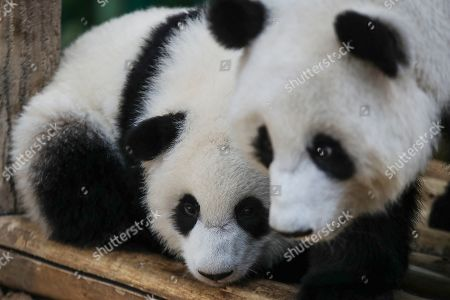 An unnamed second female baby panda that is one year old (L) reacts with her mother Liang Liang (R) during her birthday celebration at the National Zoo at the Kuala Lumpur, Malaysia, 14 January 2019. Liang Liang, a female giant panda gave birth to her second baby on 14 January 2018. The baby panda was born 89 days after its parents Xing Xing and Liang Liang mated. Xing Xing and Liang Liang were loaned to Malaysia for 10 years to mark the 40th anniversary of diplomatic ties between Malaysia and China since they were initiated by Malaysia's second Prime Minister, the late Abdul Razak Hussein in 1974.