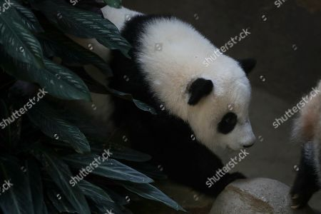 An unnamed one year old second female baby panda reacts during her birthday celebration at the National Zoo at the Kuala Lumpur, Malaysia, 14 January 2019. Liang Liang, a female giant panda gave birth to her second baby on 14 January 2018. The baby panda was born 89 days after its parents Xing Xing and Liang Liang mated. Xing Xing and Liang Liang were loaned to Malaysia for 10 years to mark the 40th anniversary of diplomatic ties between Malaysia and China since they were initiated by Malaysia's second Prime Minister, the late Abdul Razak Hussein in 1974.