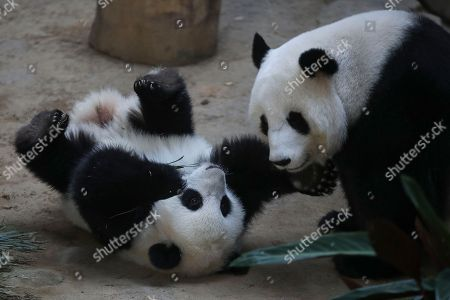 An unnamed one year old second female baby panda (L) react with her mother Liang Liang (R) during her birthday celebration at the National Zoo at the Kuala Lumpur, Malaysia, 14 January 2019. Liang Liang, a female giant panda gave birth to her second baby on 14 January 2018. The baby panda was born 89 days after its parents Xing Xing and Liang Liang mated. Xing Xing and Liang Liang were loaned to Malaysia for 10 years to mark the 40th anniversary of diplomatic ties between Malaysia and China since they were initiated by Malaysia's second Prime Minister, the late Abdul Razak Hussein in 1974.