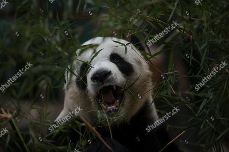 Xing Xing, father of an unnamed one year old second female baby panda reacts during his child's birthday celebration at the National Zoo at the Kuala Lumpur, Malaysia, 14 January 2019. Liang Liang, a female giant panda gave birth to her second baby on 14 January 2018. The baby panda was born 89 days after its parents Xing Xing and Liang Liang mated. Xing Xing and Liang Liang were loaned to Malaysia for 10 years to mark the 40th anniversary of diplomatic ties between Malaysia and China since they were initiated by Malaysia's second Prime Minister, the late Abdul Razak Hussein in 1974.