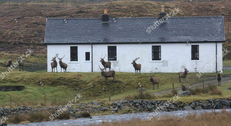 Stags outside a cottage near Achnasheen, Highlands