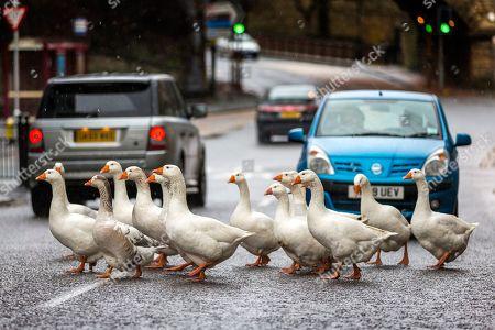 Geese Crossing the road in Sowerby Bridge, Yorkshire