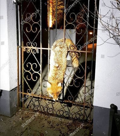Fox rescued after getting stuck in gate, Reigate