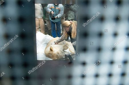 A tranquillized white lion (Panthera leo krugeri) is examined by veterinary Alexandra Biacsi before its transportation to Israel in Nyiregyhaza Animal Park in Nyiregyhaza, Hungary, 30 January 2019. The feline is one of white lion triplets born in 2017 that will be presented at the zoo of Beersheba, Southern Israel.