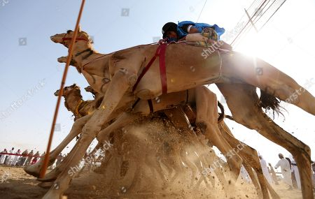 Stock Picture of Camel jockeys compete during a camel race held as part of the Sultan Bin Zayed Heritage Festival in the desert at Sweihan, in Al-Ain, United Arab Emirates, 02 February 2019. The Sultan festival is part of efforts to revive and safeguard the age-old tradition of camel and saluki sports, which is considered an integral part of the UAE and Gulf heritage. The event features traditional camel races and camel beauty contests in addition to the traditional souq (a camel auction), saluki race and competitions for traditional handicrafts, the festival is under patronage of HH Sheikh Sultan bin Zayed Al Nahyan, the President's Representative and Chairman of the Emirates Heritage Club (EHC).