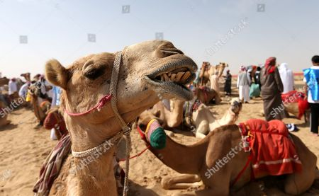 Camel trainers wait with their camels to compete during a camel race held as part of the Sultan Bin Zayed Heritage Festival in the desert at Sweihan, in Al-Ain, United Arab Emirates, 02 February 2019. The Sultan festival is part of efforts to revive and safeguard the age-old tradition of camel and saluki sports, which is considered an integral part of the UAE and Gulf heritage. The event features traditional camel races and camel beauty contests in addition to the traditional souq (a camel auction), saluki race and competitions for traditional handicrafts, the festival is under patronage of HH Sheikh Sultan bin Zayed Al Nahyan, the President's Representative and Chairman of the Emirates Heritage Club (EHC).