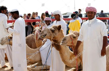 Camel trainers wait with their camels during a camel race held as part of the Sultan Bin Zayed Heritage Festival in the desert at Sweihan, in Al-Ain, United Arab Emirates, 02 February 2019. The Sultan festival is part of efforts to revive and safeguard the age-old tradition of camel and saluki sports, which is considered an integral part of the UAE and Gulf heritage. The event features traditional camel races and camel beauty contests in addition to the traditional souq (a camel auction), saluki race and competitions for traditional handicrafts, the festival is under patronage of HH Sheikh Sultan bin Zayed Al Nahyan, the President's Representative and Chairman of the Emirates Heritage Club (EHC).