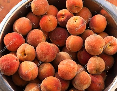 Freshly harvested peaches (Prunus persica) in a bowl, Lower Saxony, Germany