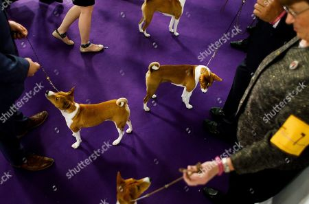 Basenjis Stock Photos, Editorial Images and Stock Pictures