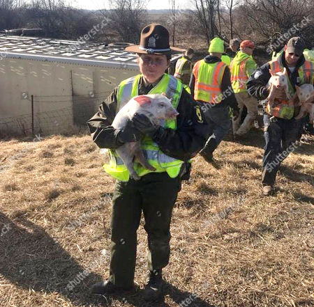 Stock Photo of This photo provided by the Illinois State Police shows Trooper Amanda Jenkins carrying a piglet away from the scene of a crash involving over 3000 small pigs on Interstate 70 near Casey, Ill. Police say a livestock hauler ran off the road and overturned on the interstate in eastern Illinois, setting about 3,000 piglets loose. The (Terre Haute) Tribune-Star reports that about 100 of the piglets died in the crash and the Illinois State Police say the surviving pigs were recaptured and have continued to their destination in Indiana