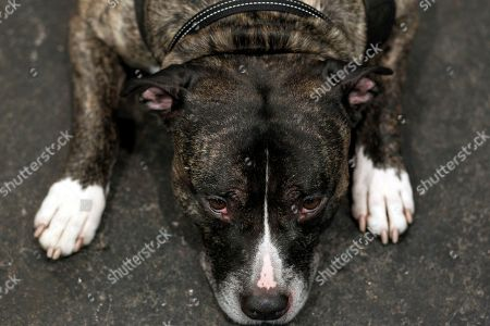 A pit bull dog presented during a PetExpo 2019 in Riga, Latvia, 23 March 2019.