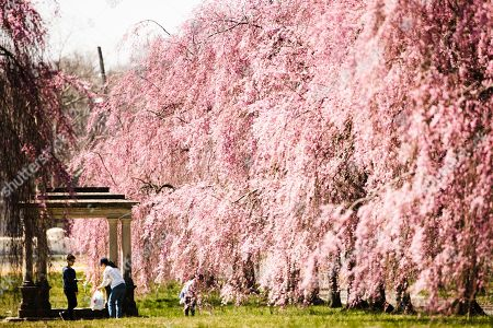Maggie Li, second left, and her children Jason Zhang, 12, left, and Callie Zhang, 7, pick up litter among the blossoming cherry trees at Fairmount Park in Philadelphia