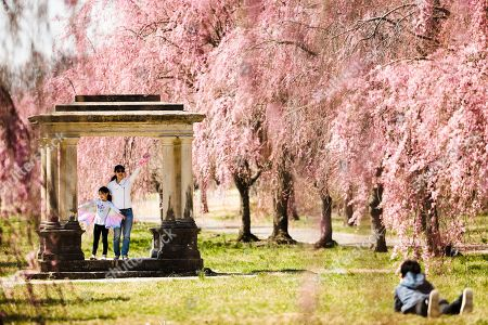 Jason Zhang, 12, right, photographs his sister, Callie Zhang, 7, left, and mother Maggie Li, among the blossoming cherry trees at Fairmount Park in Philadelphia