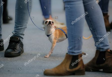 edaefb6f3bfb Stock Picture of Rocky the Chihuahua looks up at the Pet Expo 2019, a pet