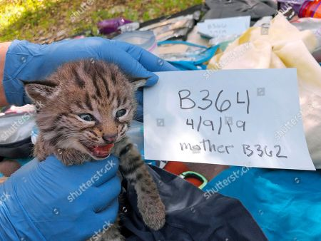 This April 9, 2019 photo provided by the National Park Service shows one of four four kittens born to a young bobcat captured, collared and released a day before a massive, deadly wildfire, in a large residential backyard in Thousand Oaks, Calif. Authorities at the Santa Monica Mountains National Recreation Area said that biologists recently found the bobcat's den in dense vegetation. While their mother was away, the biologists gave the kittens a general health check, and weighed, measured and tagged them. Their mother, B-362, was tagged the day before the start of last year's Woolsey Fire, which destroyed 1,600 structures and left three people dead