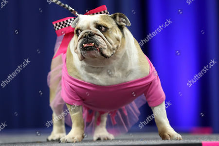 Lexi, owned by Phil Jackson, of Eureka Springs, Ark., stands on stage during the 40th annual Drake Relays Beautiful Bulldog Contest, in Des Moines, Iowa. The pageant kicks off the Drake Relays festivities at Drake University where a bulldog is the mascot