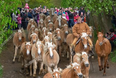 Stock Photo of Horseman Uwe Ott leads the Haflinger horses during this years's first turn-out to grass at Europe's largest Haflinger stud-farm in Meura, Germany, . More than 300 Haflinger horses are living there