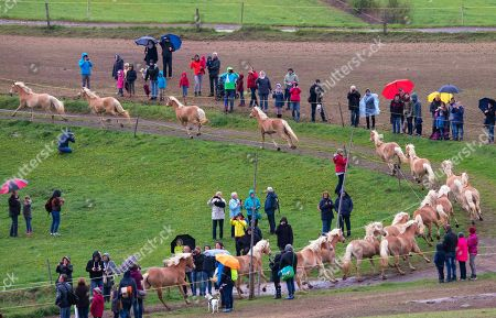 Stock Image of Haflinger horses run between the spectators during this years's first turn-out to grass at Europe's largest Haflinger stud-farm in Meura, Germany, . More than 300 Haflinger horses are living there