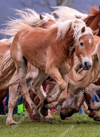 Haflinger horses run during this years's first turn-out to grass at Europe's largest Haflinger stud-farm in Meura, Germany, . More than 300 Haflinger horses are living there