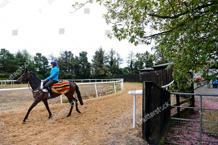 Currabeg Stables, Curragh. The John Oxx trained SKITTER SCATTER and Stephanie Roussell (centre,light blue jacket) head to the gallops for morning work ahead of this weekend's Qipco 1000 Guineas at Newmarket.