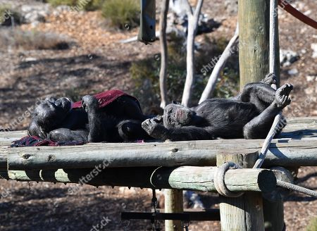 Chimpanzees are seen at the Monarto Zoo near Adelaide, South Australia, Australia, 15 May 2019. World renowned primatologist Dr Jane Goodall is in South Australia to announce the pregnancy of one of Monarto Zoo's chimpanzees.