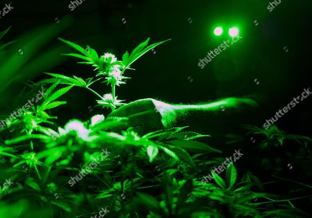 Head of Cultivation at Loving Kindness Farms Jason Roberts works in his grow room wearing green lights not to wake his sleeping marijuana plants in Gardena, Calif