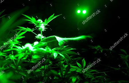 Stock Image of Head of Cultivation at Loving Kindness Farms Jason Roberts works in his grow room wearing green lights not to wake his sleeping marijuana plants in Gardena, Calif