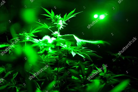 Stock Image of Head of cultivation at Loving Kindness Farms Jason Roberts checks one of his marijuana plants in a grow room wearing green lights not to wake them wake them during their night cycle in Gardena, Calif