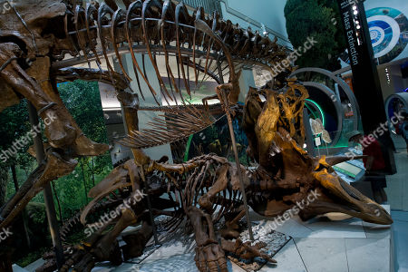 """A Tyrannosaurus rex skeleton is seen on display biting a Triceratops during the Smithsonian's National Museum of Natural History's """"David H. Koch Hall of Fossils-Deep Time"""" during the exhibit opening day in Washington, . The Smithsonian's National Museum of Natural History reopened its dinosaur and fossil hall to the public, the 31,000-square-foot exhibition hall feature the authentic Tyrannosaurus rex skeleton"""