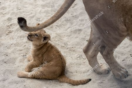 One of two two-month-old Barbary lion (Panthera leo leo) cubs plays with its Mother Khalila's tail inside their enclosure at the Safari Park in Dvur Kralove nad Labem, Czech Republic, 08 July 2019. The two cubs, a male and a female, were born at the park on 10 May 2019. Reportedly there are less than 100 Barbary lions, a species that is already extinct in the wild, in zoos around the world.
