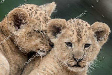 Two two-month-old Barbary lion (Panthera leo leo) cubs play inside their enclosure at the Safari Park in Dvur Kralove nad Labem, Czech Republic, 08 July 2019. The two cubs, a male and a female, were born at the park on 10 May 2019. Reportedly there are less than 100 Barbary lions, a species that is already extinct in the wild, in zoos around the world.