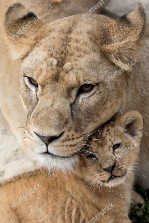 Mother Khalila, a Barbary lion (Panthera leo leo), protects one of her two-month-old cubs inside their enclosure at the Safari Park in Dvur Kralove nad Labem, Czech Republic, 08 July 2019. The two cubs, a male and a female, were born at the park on 10 May 2019. Reportedly there are less than 100 Barbary lions, a species that is already extinct in the wild, in zoos around the world.