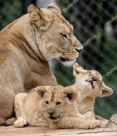 Mother Khalila, a Barbary lion (Panthera leo leo), watches over her two-month-old cubs inside their enclosure at the Safari Park in Dvur Kralove nad Labem, Czech Republic, 08 July 2019. The two cubs, a male and a female, were born at the park on 10 May 2019. Reportedly there are less than 100 Barbary lions, a species that is already extinct in the wild, in zoos around the world.