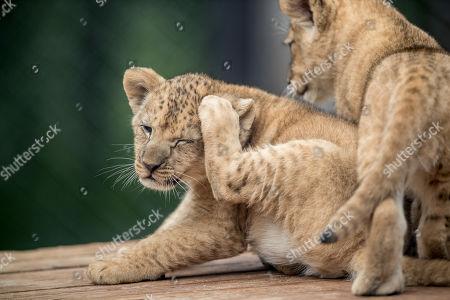 Editorial photo of Newborn Barbary lion cubs in Dvur Kralove Safari Park, Dvur Kralove Nad Labem, Czech Republic - 08 Jul 2019