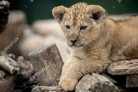 One of two two-month-old Barbary lion (Panthera leo leo) cubs looks around inside their enclosure at the Safari Park in Dvur Kralove nad Labem, Czech Republic, 08 July 2019. The two cubs, a male and a female, were born at the park on 10 May 2019. Reportedly there are less than 100 Barbary lions, a species that is already extinct in the wild, in zoos around the world.