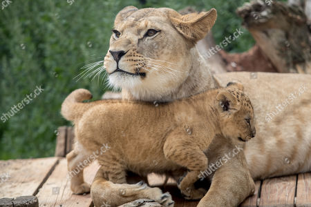 Stock Image of Mother Khalila, a Barbary lion (Panthera leo leo), protects one of her two-month-old cubs inside their enclosure at the Safari Park in Dvur Kralove nad Labem, Czech Republic, 08 July 2019. The two cubs, a male and a female, were born at the park on 10 May 2019. Reportedly there are less than 100 Barbary lions, a species that is already extinct in the wild, in zoos around the world.