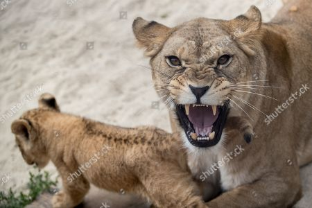 Stock Picture of Mother Khalila, a Barbary lion (Panthera leo leo), protects one of her two-month-old cubs inside their enclosure at the Safari Park in Dvur Kralove nad Labem, Czech Republic, 08 July 2019. The two cubs, a male and a female, were born at the park on 10 May 2019. Reportedly there are less than 100 Barbary lions, a species that is already extinct in the wild, in zoos around the world.