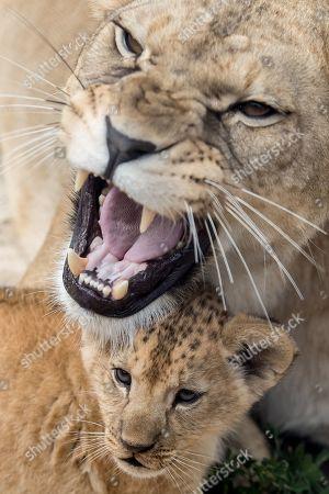 Editorial picture of Newborn Barbary lion cubs in Dvur Kralove Safari Park, Dvur Kralove Nad Labem, Czech Republic - 08 Jul 2019