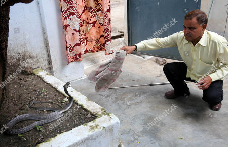 Indian snake catcher, Mohammed Saleem, tries to catch a king cobra snake at a house on the occasion of the world Snake day in Bhopal, India, 16 July 2019. The 16th of July is celebrated as World Snake Day.