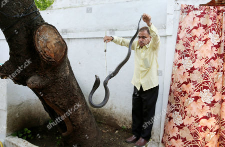 Indian snake catcher, Mohammed Saleem, catches a king cobra snake at a house on the occasion of the world Snake day in Bhopal, India, 16 July 2019. The 16th of July is celebrated as World Snake Day.