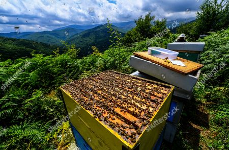 Bees crawl on the frames of a beehive during this year's first honey extraction from beehives situated next to the mountaineer?s home Karadzica (altitude of 1450m) on the mountain Jakupica, 45km south of Skopje, Republic of North Macedonia, 25 July 2019. Goce Cakarov manages the mountaineer home Karadzice and also keeps more than 50 beehives. Because of the high altitude, distance from any industrial or residential area (more than 40km) the honey that the bees produce belong to the category of high quality organic honey, even though it doesn?t have the certificate for organic products. According to him, a Macedonian family that has 100 beehives can produce around 1500kg of honey yearly. The high quality mountain-meadow honey is being sold for a minimal price of 8.5 euro per 0.7 litter jar, which means that the annual earnings are higher than 12,000 euro, or 20 percent higher than the average annual income of a Macedonian household. Beekeeping in North Macedonia is a rising business and is becoming an important part of modern lifestyle. A large number of young people are deciding to get into beekeeping, as stated by the president of the North Macedonian 'Beekeeping Federation' Jane Markov. According to the Ministry of Agriculture, in North Macedonia there are more than 7,000 families that work with beekeeping. The estimate of the Ministry is that in the country there were more than 240,000 beehives at the end of 2018. Depending on the weather conditions, one beehive produces from 18 up to 35 kg of honey. According to their data in 1992, North Macedonia produced more than 1,600 tons of honey. Due to the climate changes, weather conditions and the high increase in the use of pesticides, the honey production has sharply decreased. The estimate is that in 2018 the honey productin was around 400 tons.